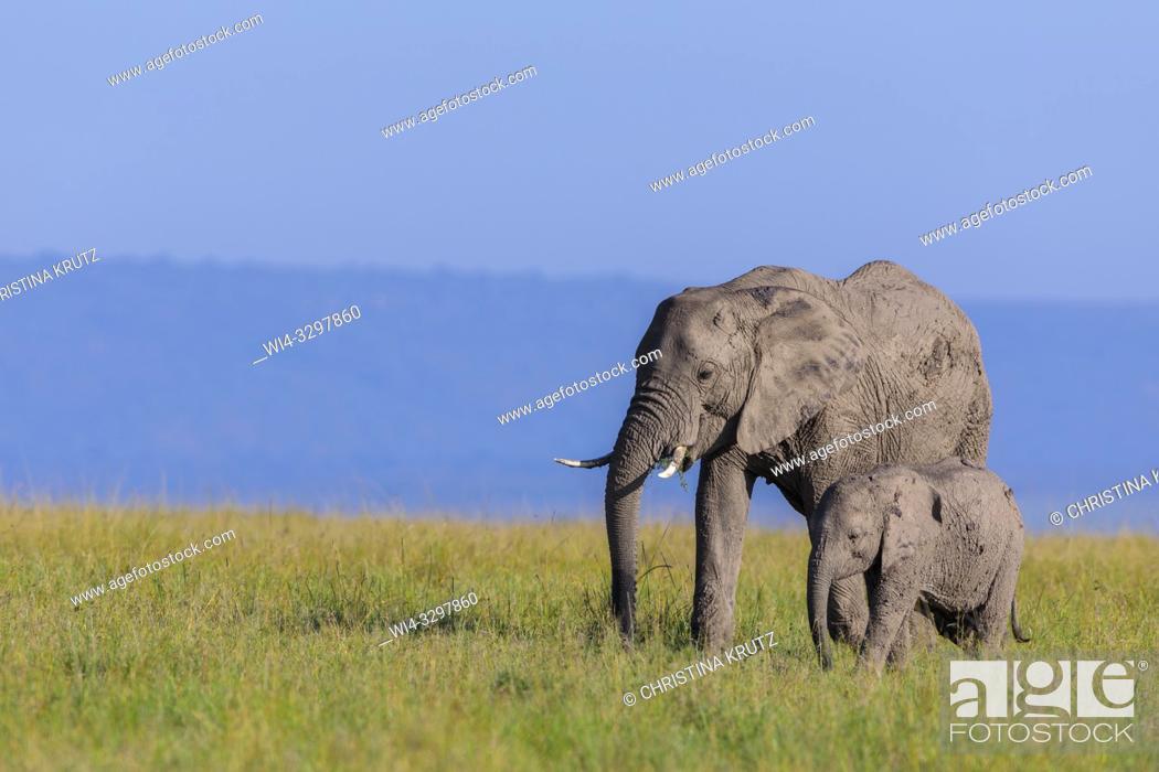Stock Photo: African elephants (Loxodonta africana) in savanna, Maasai Mara National Reserve, Kenya, Africa.