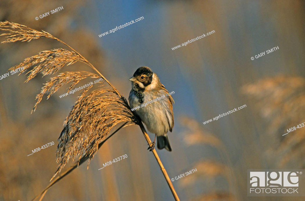 Stock Photo: Reed Bunting male in winter plumage perched on phragmites.