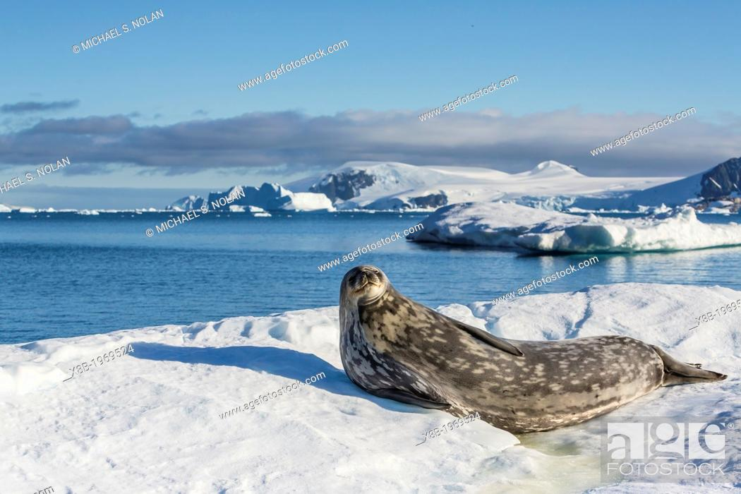 Imagen: Weddell seal, Leptonychotes weddellii, hauled out on ice in Cierva Cove, Antarctica, Southern Ocean.