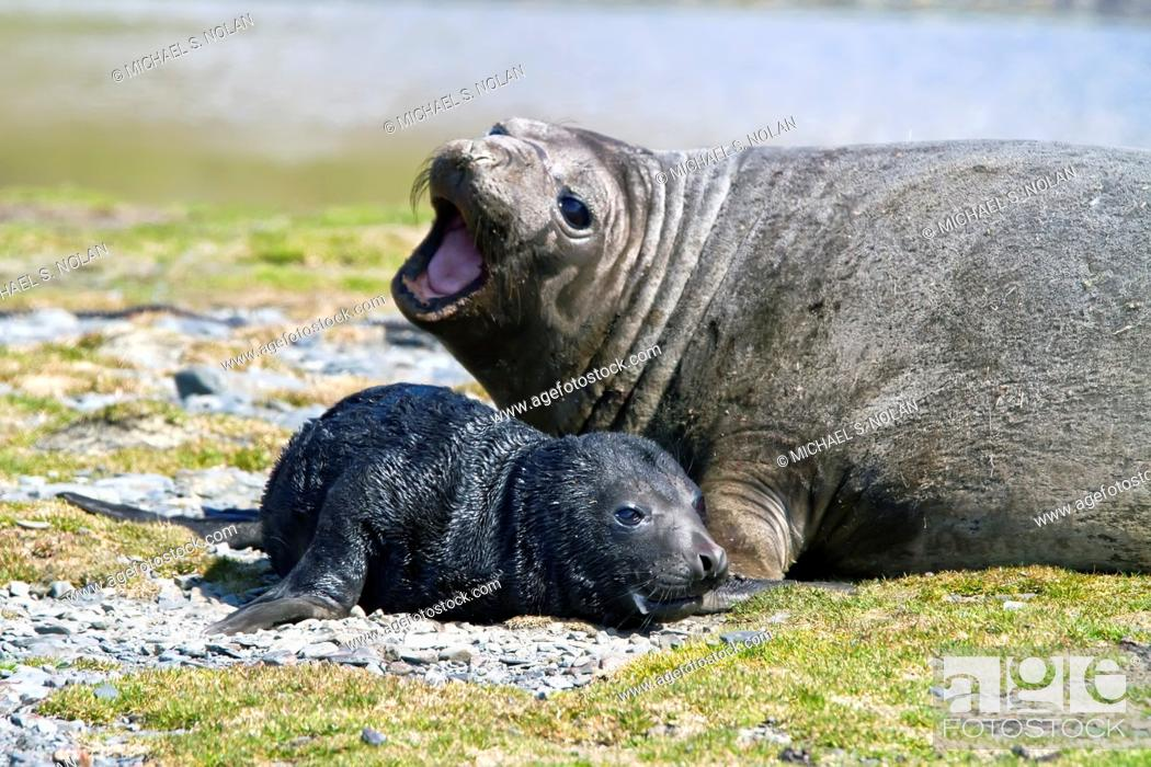 Stock Photo: Pregnant female southern elephant seal Mirounga leonina giving birth on the beach near the abandoned whaling station at Stromness Bay on South Georgia Island in.