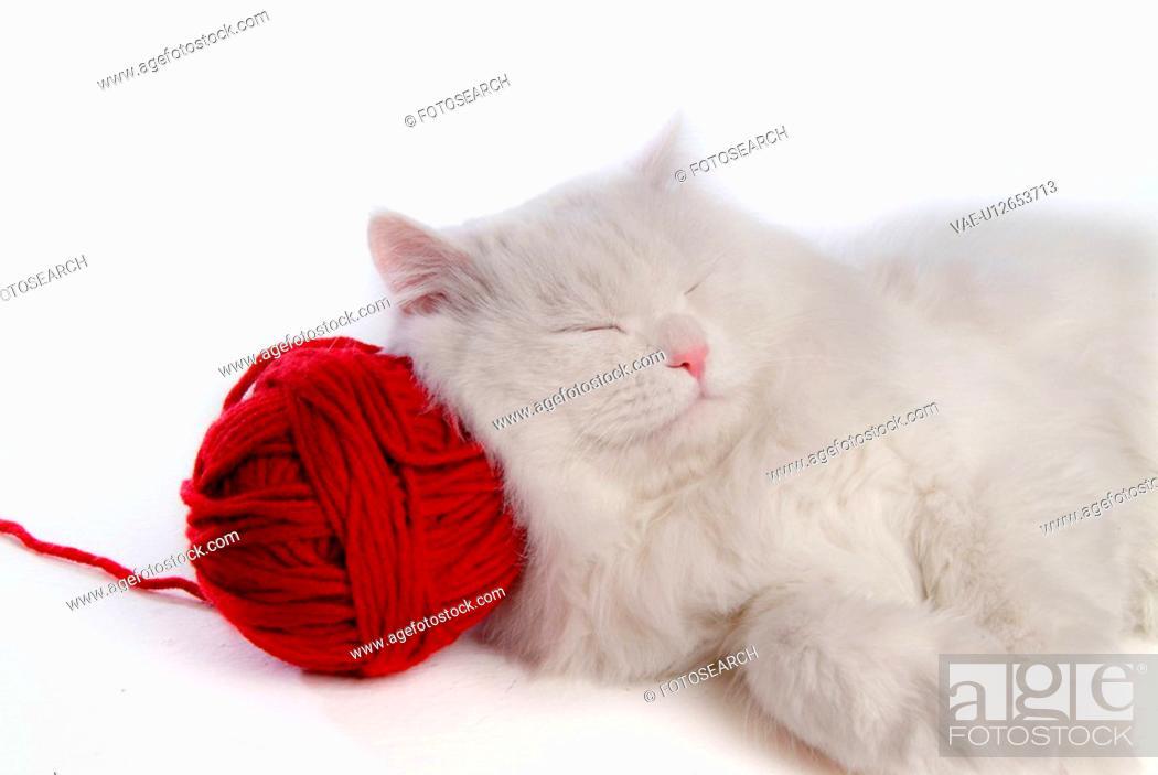 Stock Photo: domestic cat, TurkishAngora, domestic feline, turkish angora, turkishangora, cute, cat.