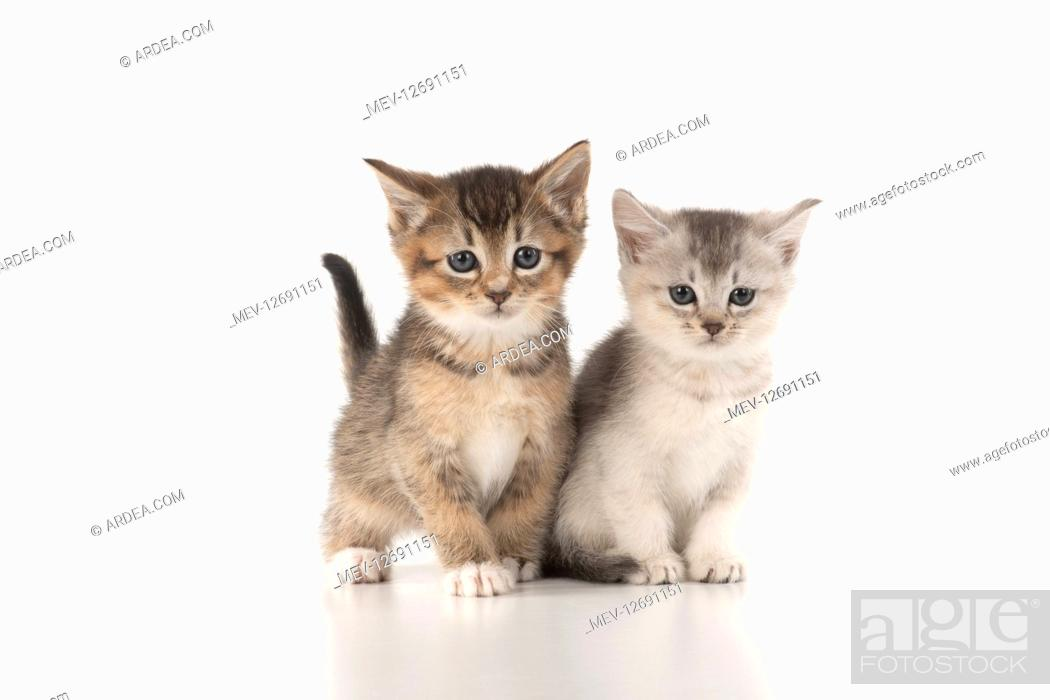 Stock Photo: CAT. Kittens (6 wks old )silver and tabby, on white background.