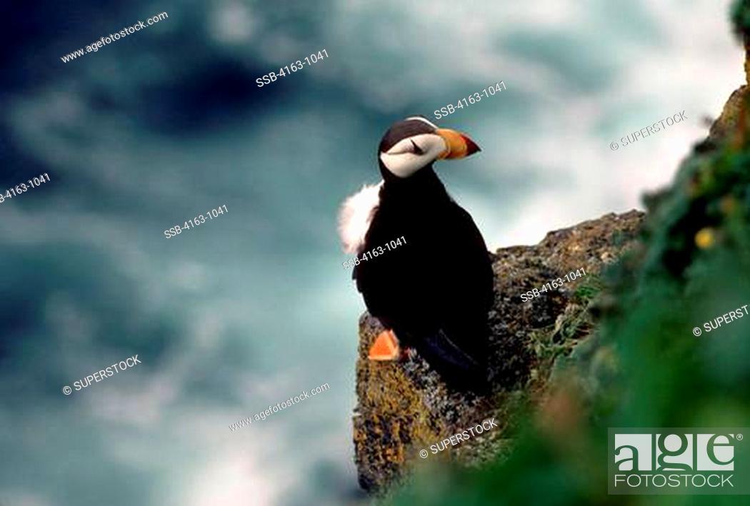 Stock Photo: USA, ALASKA, PRIBILOF ISL. ST. PAUL'S ISLAND, HORNED PUFFIN SITTING ON CLIFFSIDE LEDGE.