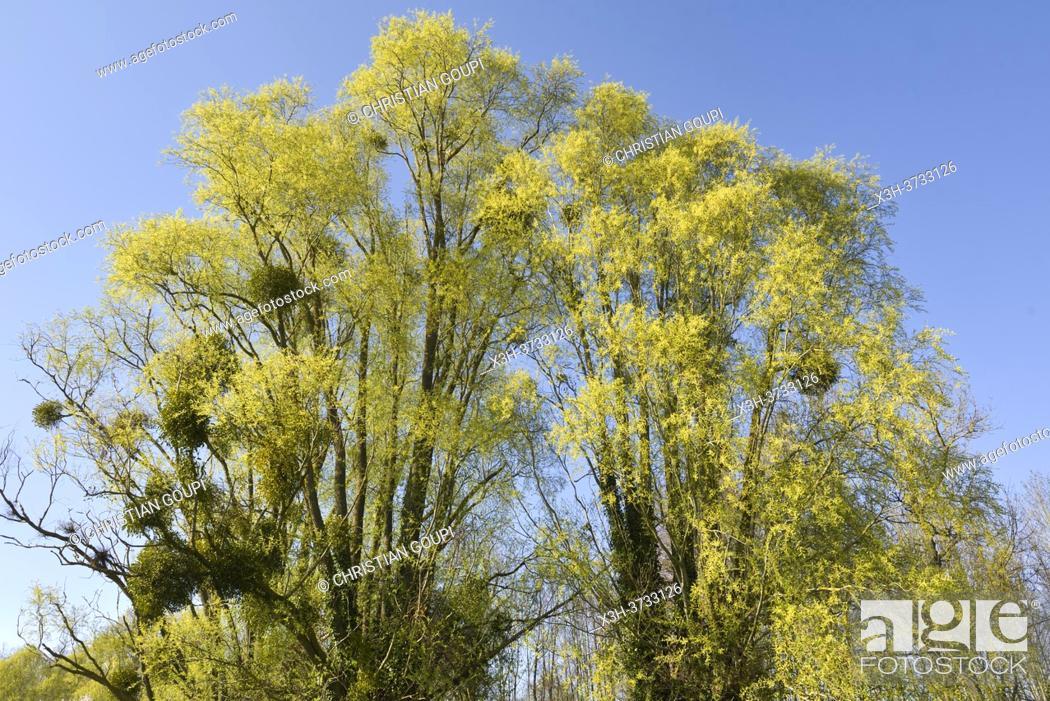 Stock Photo: Mistletoe (Viscum album) growing on willow trees, Eure-et-Loir department, Centre-Val-de-Loire region, France, Europe.