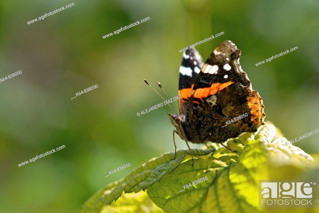 Stock Photo: butterfly Vanessa atalanta, numbered. Nord of Spain.