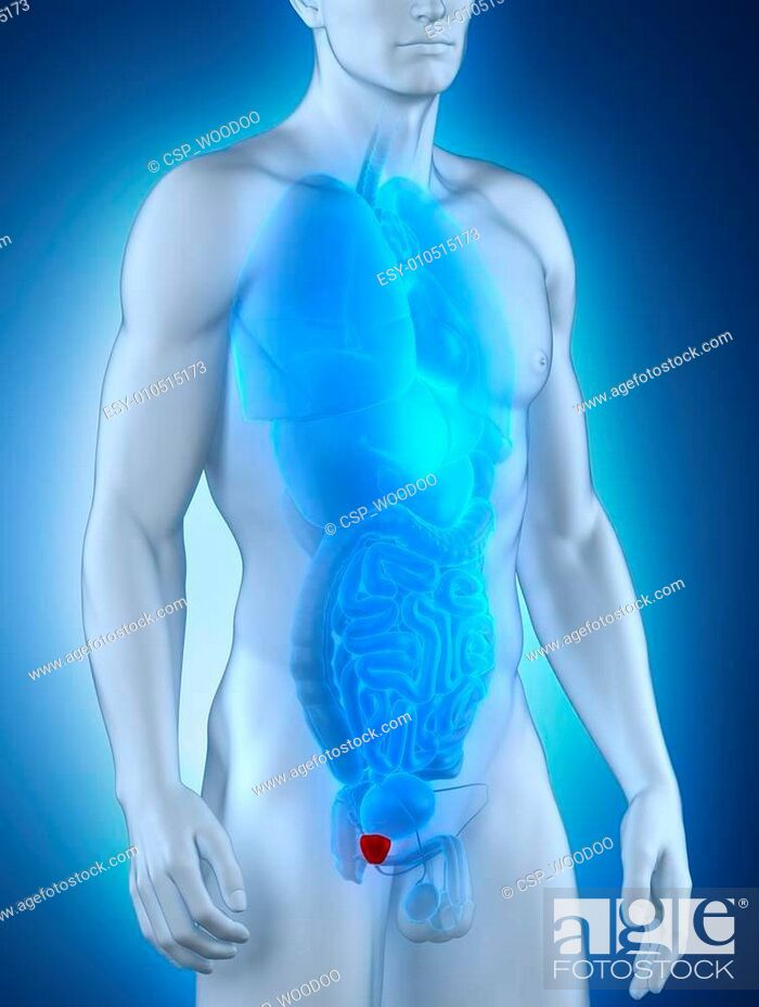 Male prostate anatomy anterior view, Stock Photo, Picture And Low ...