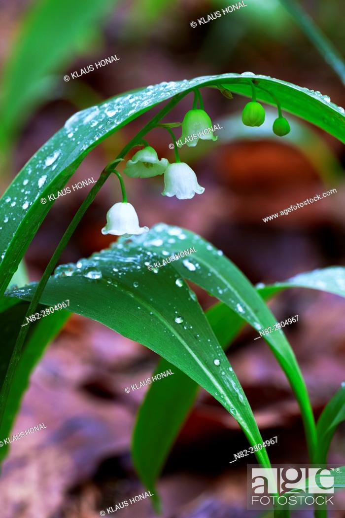 Stock Photo: Lily of the Valley (Convallaria majalis) blooming in deciduous forest after violent rain - Bavaria/Germany.