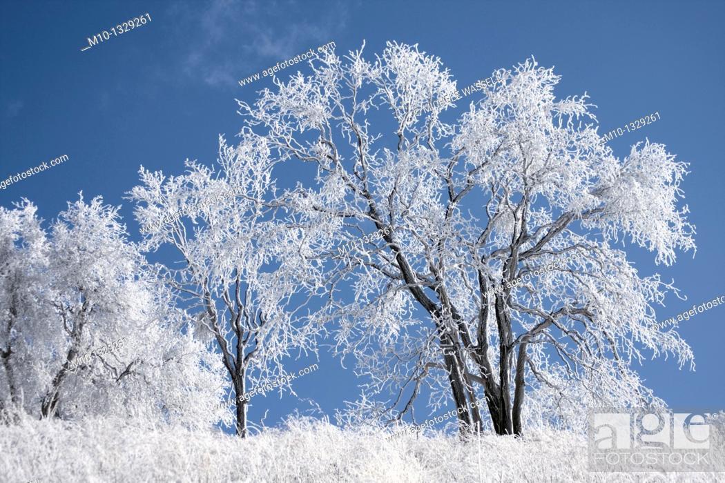 Stock Photo: An oak tree in dreary weather, Tehachapi, California, USA.