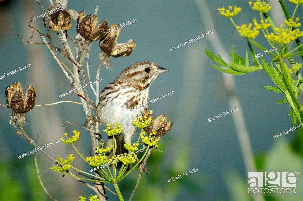 Stock Photo: A song sparrow (Melospiza melodia) looks for seeds on a yellow flower, Pennsylvania, USA.