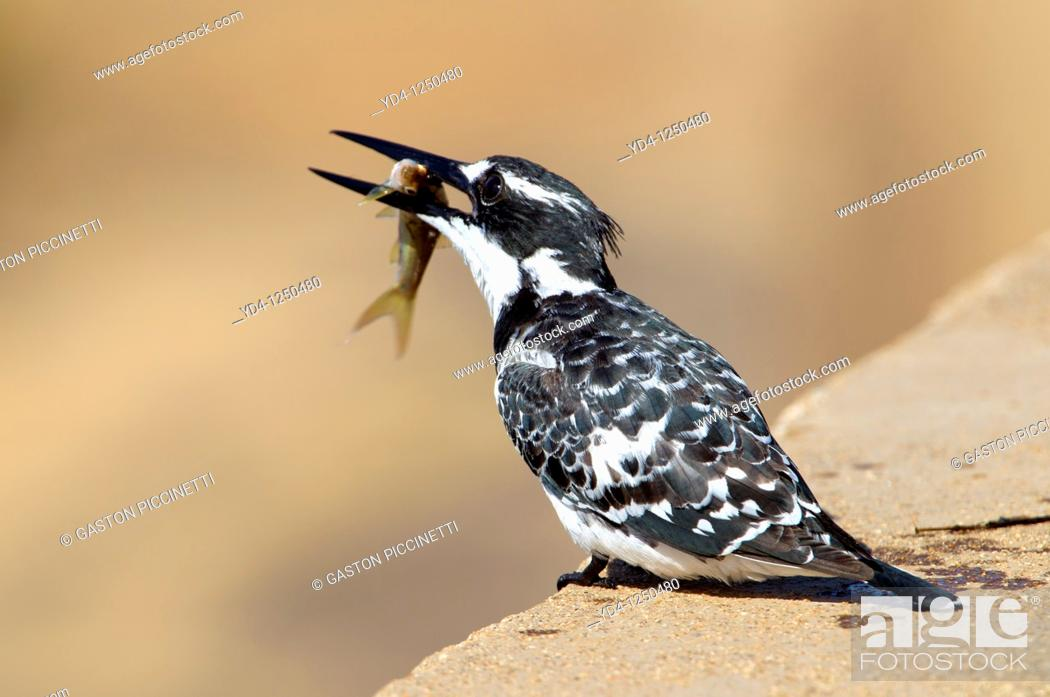 Stock Photo: Pied kingfisher Ceryle rudis, fishing, Kruger National Park, South Africa.