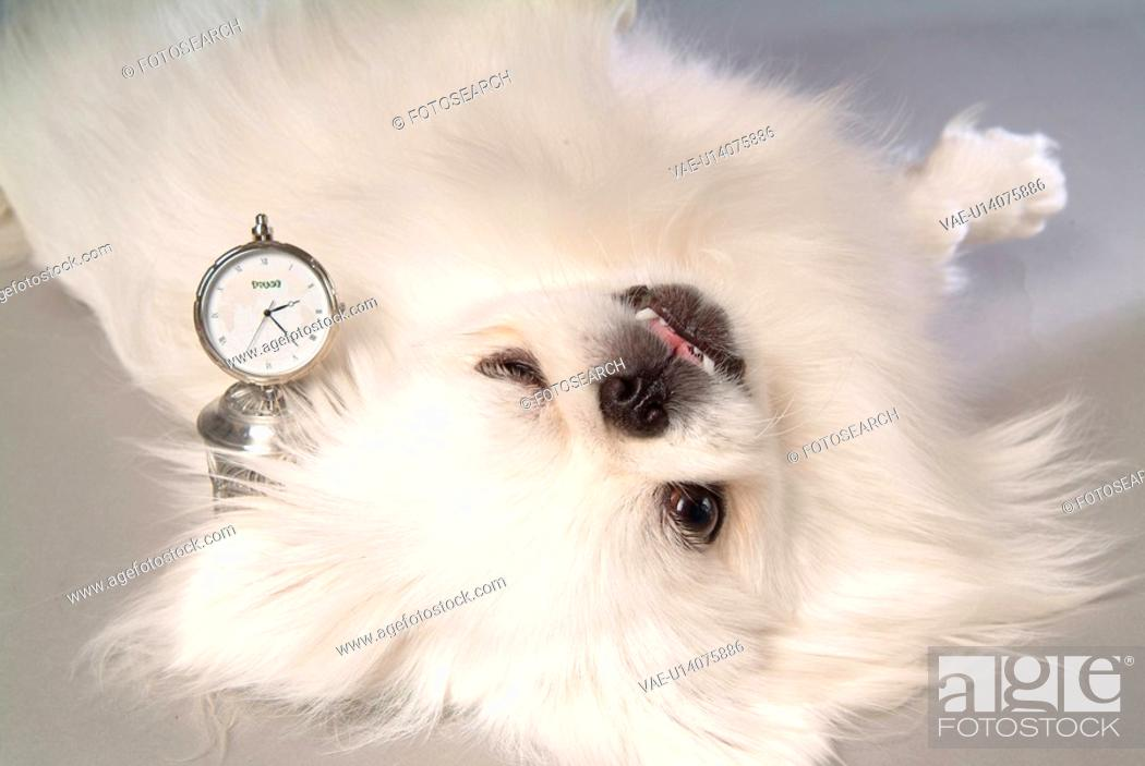 Stock Photo: faithful, domestic animal, companion, canine, close up, pekingese.