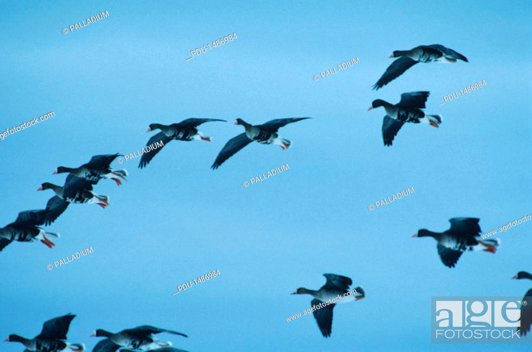 Stock Photo: Greater white-fronted geese dropping in from stormy sky, North America, (Low angle view).