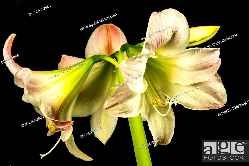 Imagen: Amaryllis, flower in a closeup.
