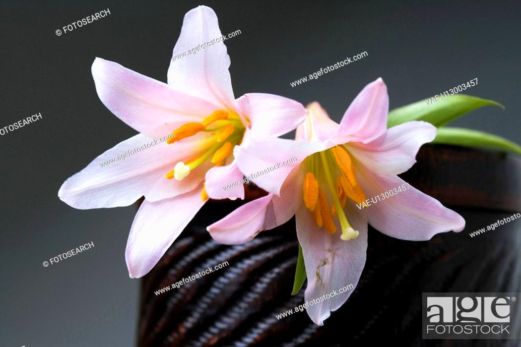 Stock Photo: Lilium rubellum.