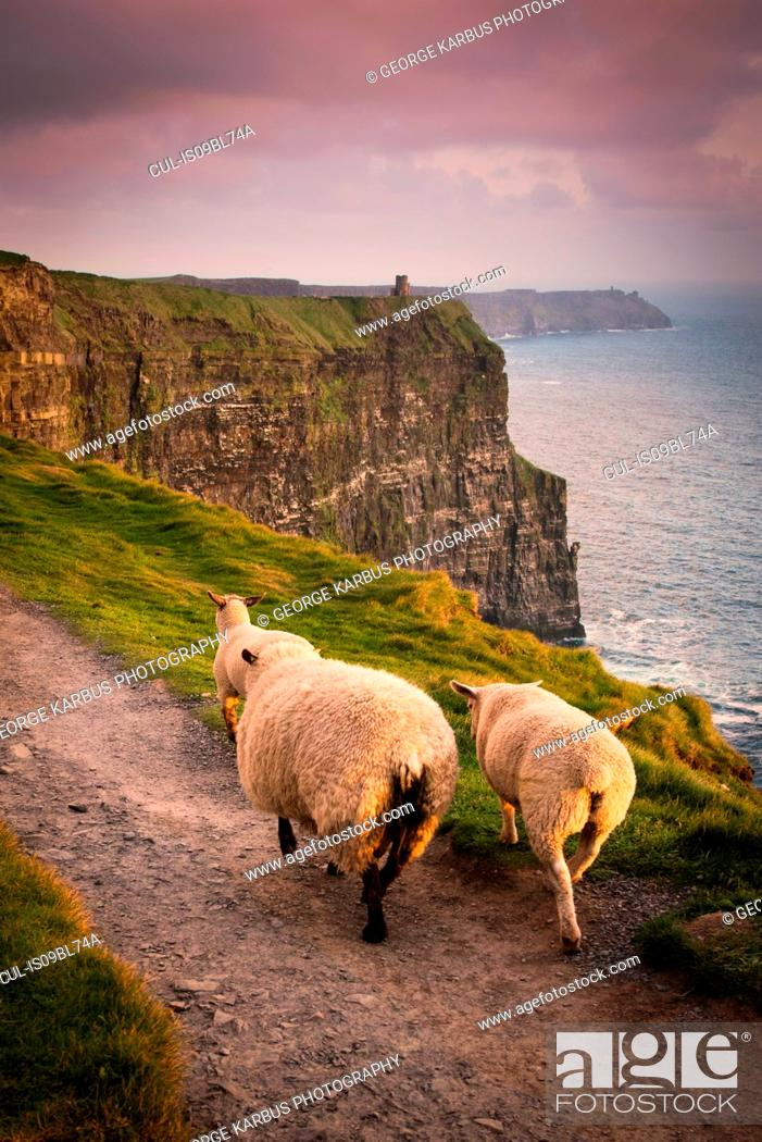 Stock Photo: Sheep on rural pathway, Cliffs of Moher, Doolin, Clare, Ireland.