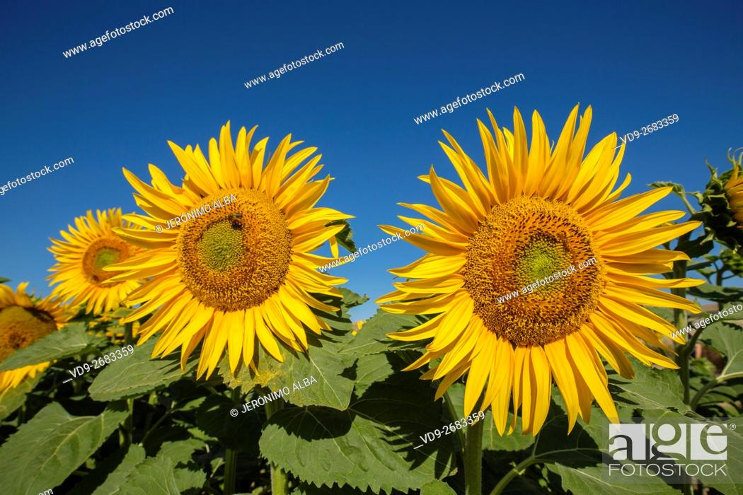 Stock Photo: Helianthus annuus. Sunflower field Cordoba province, Andalusia, Spain, Europe.