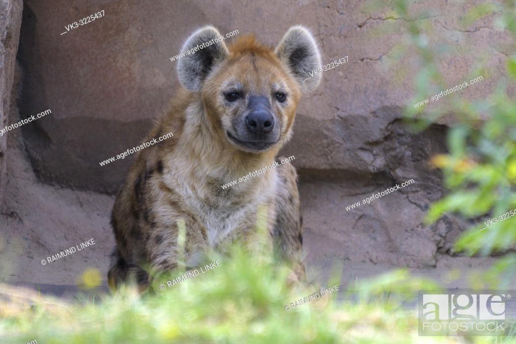 Stock Photo: Spotted hyena, Crocuta crocuta.