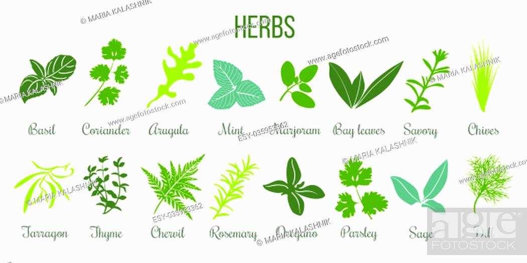 Stock Photo: Big icon set of popular culinary herbs. Flat style. Basil, coriander, mint, rosemary, sage, basil, thyme, parsley etc. For cooking, cosmetics, store.