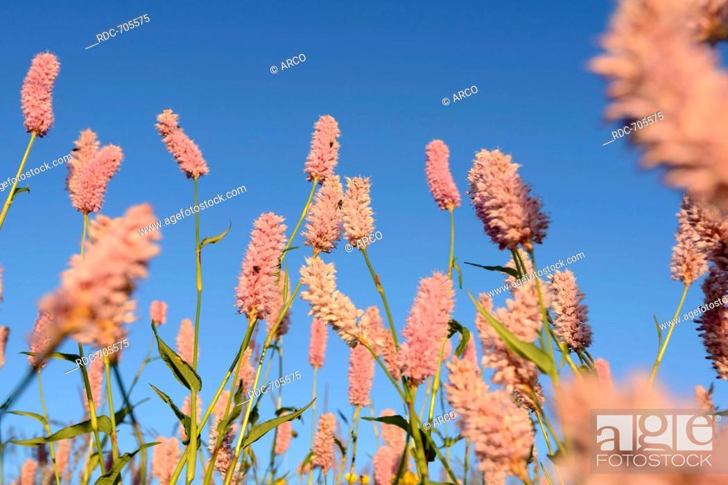 Stock Photo: Bistort (Polygonum bistorta), Vosges mountains, Mountain Hohneck, Europe, France.