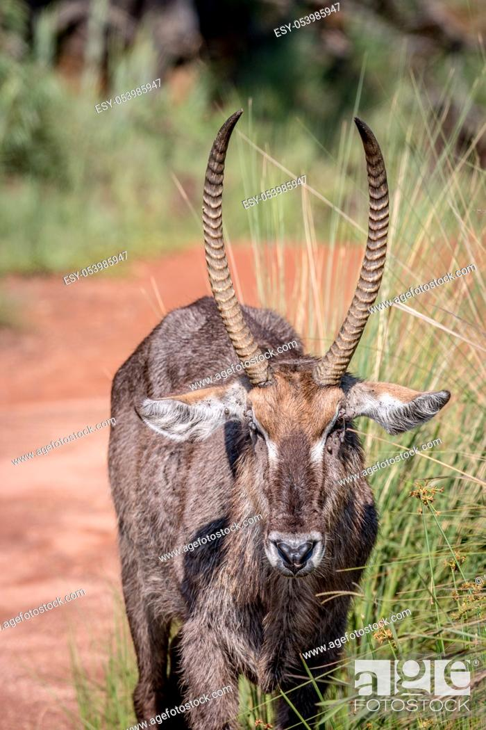 Stock Photo: Close up of a male Waterbuck starring at the camera in the Welgevonden game reserve, South Africa.