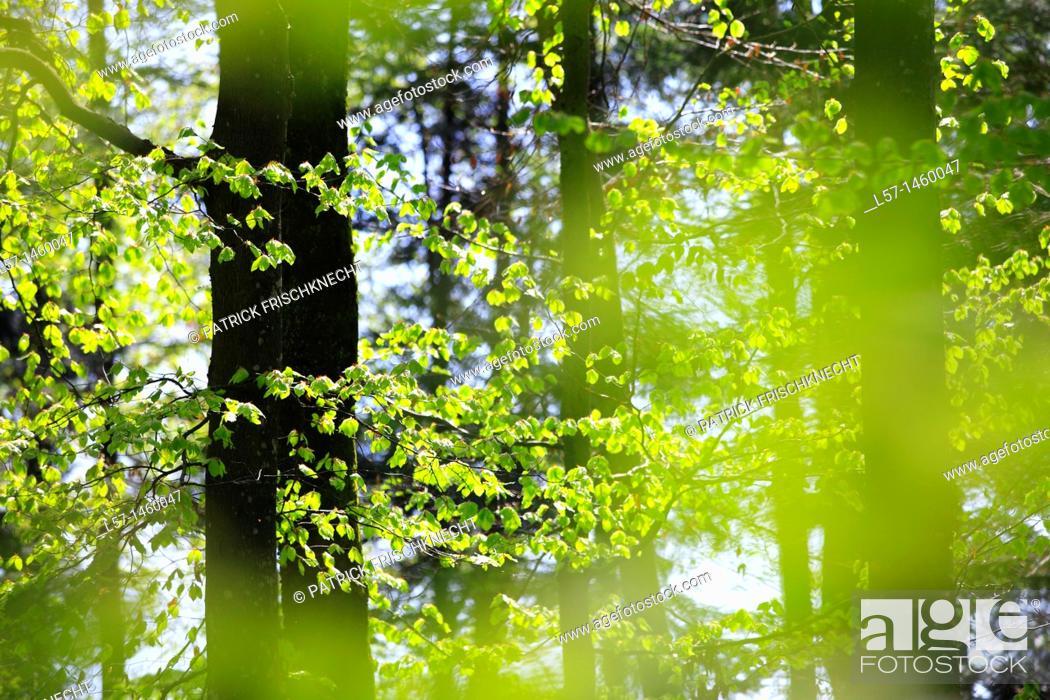 Stock Photo: beech, beech tree, Buche, Rotbuche, Fagus sylvaticia L ,Switzerland,.