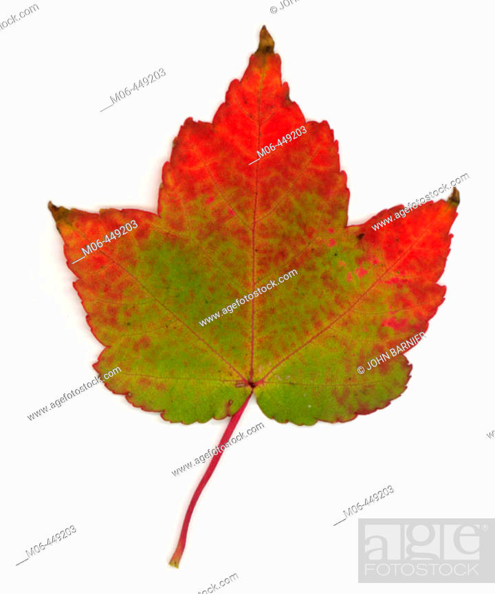 Stock Photo: Sugar Maple leaf turning from green to red.