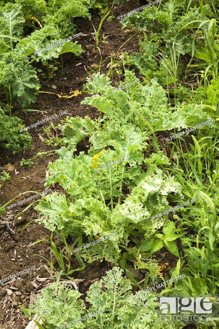Stock Photo: Rows of insect ravaged Brassica oleracea - Kale in backyard organic vegetable garden plot in summer, Quebec, Canada.