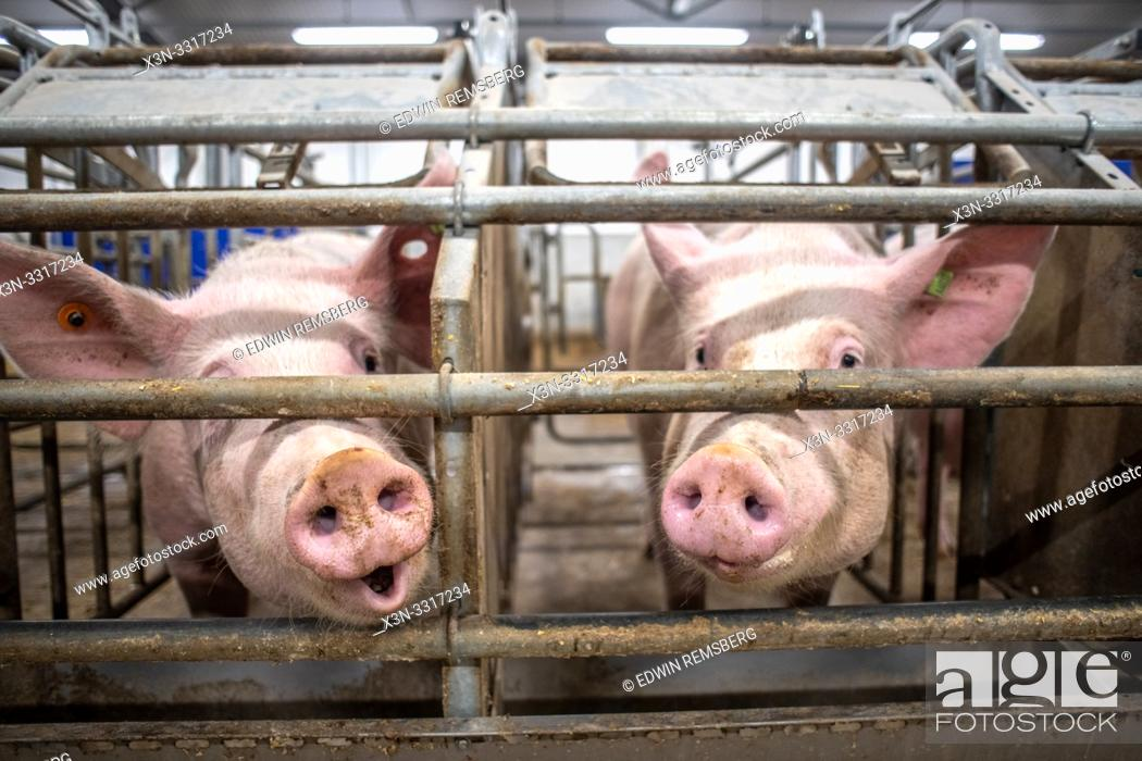Stock Photo: Pigs (Sus) in a stall poking their snout through a gate Pigs in a stall in Yorkshire, UK.
