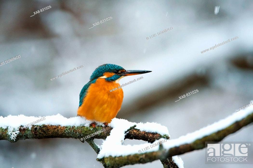 Stock Photo: Kingfisher (Alcedo atthis). Guadarrama, Madrid, Spain.