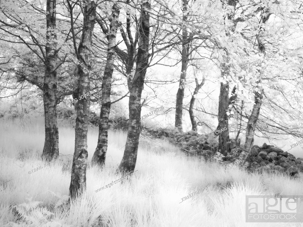 Stock Photo: A infrared image of trees beside a stone wall in a woodland in the Brecon Beacons National Park.
