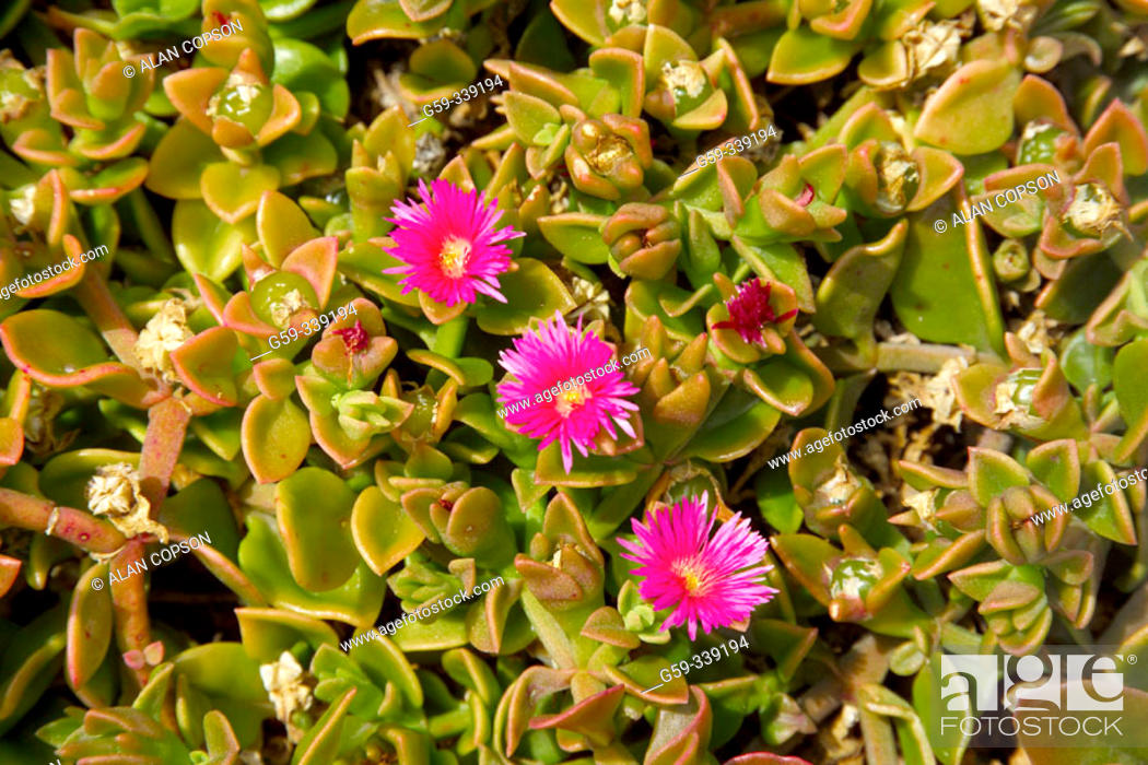 Stock Photo: Succulent flowers. Fuerteventura, Canary Islands. Spain.