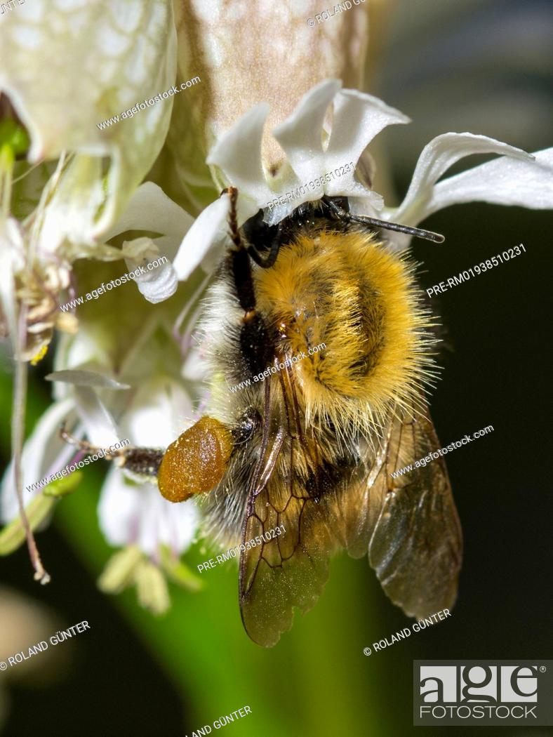 Stock Photo: Common carder bee (Bombus pascuorum) sitting on bladder campion blossom (Silene vulgaris) / Ackerhummel (Bombus pascuorum) sitzt auf Taubenkropf-Leimkraut-Blüte.