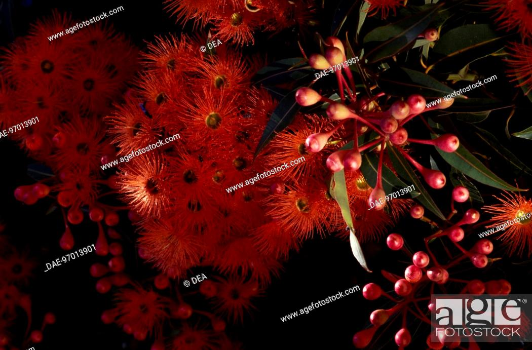 Stock Photo: Flowers of Red Flowering Gum (Corymbia ficifolia), Myrtaceae.