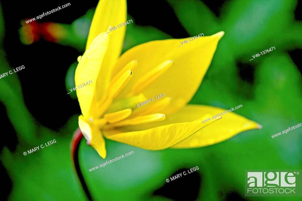 Stock Photo: Citron Zephyrlily, Zephyranthes citrina  Covered with raindrops  Yellow Six petaled flower that resembles a yellow crocus.