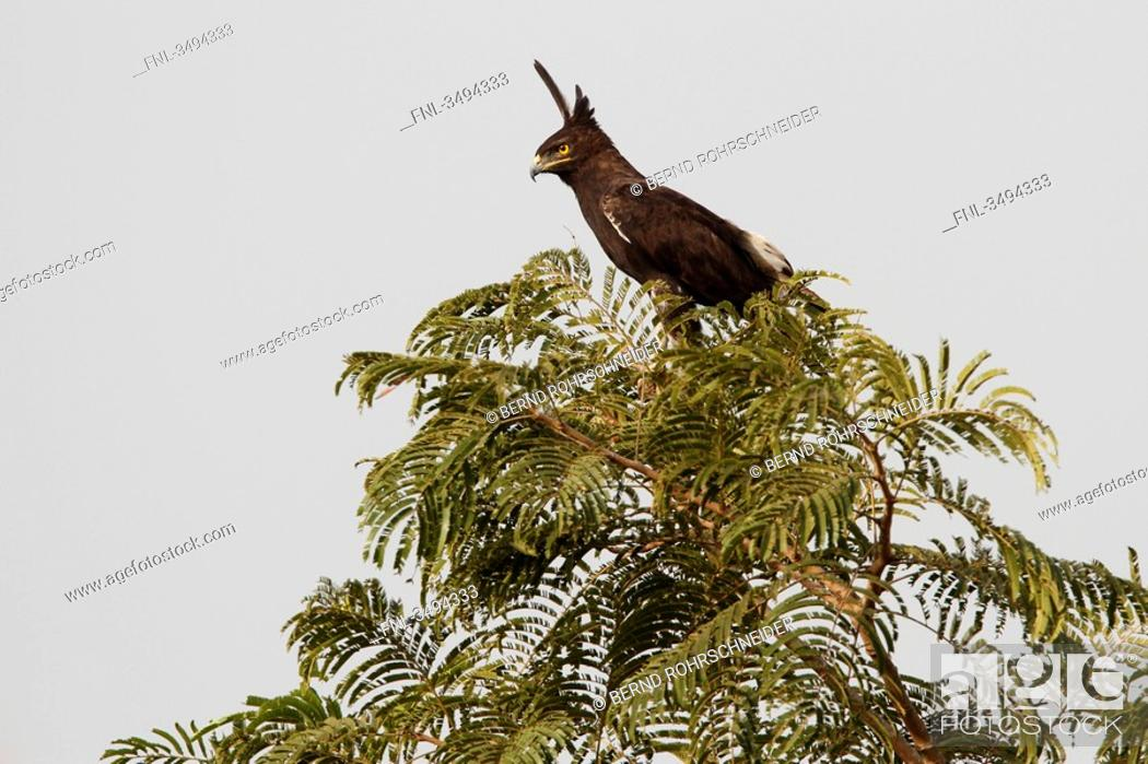 Stock Photo: Long-crested Eagle, Lophaetus occipitalis, sitting on a tree, Gambia, West Africa, Africa.