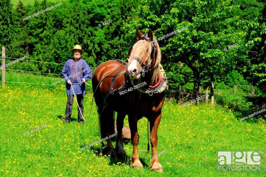 Black Forest Heavy Draught Draft Horse Draught Horse Pulling Tree Tradtitional Gear Stock Photo Picture And Rights Managed Image Pic Rdc Ad 282226 Agefotostock