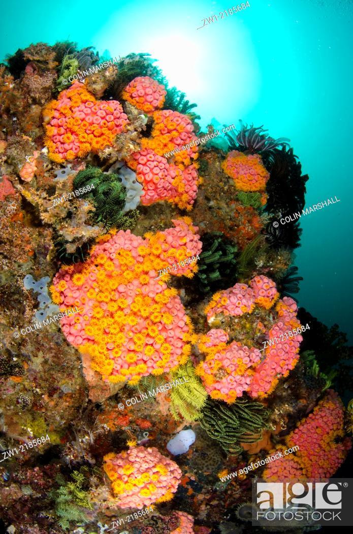 Stock Photo: Reef Scene with Coral (Tubastrea faulkneri) and Crinoids with sun in background, Eagle Rock dive site, Horseshoe Bay, Nusa Kode, south Rinca Island.