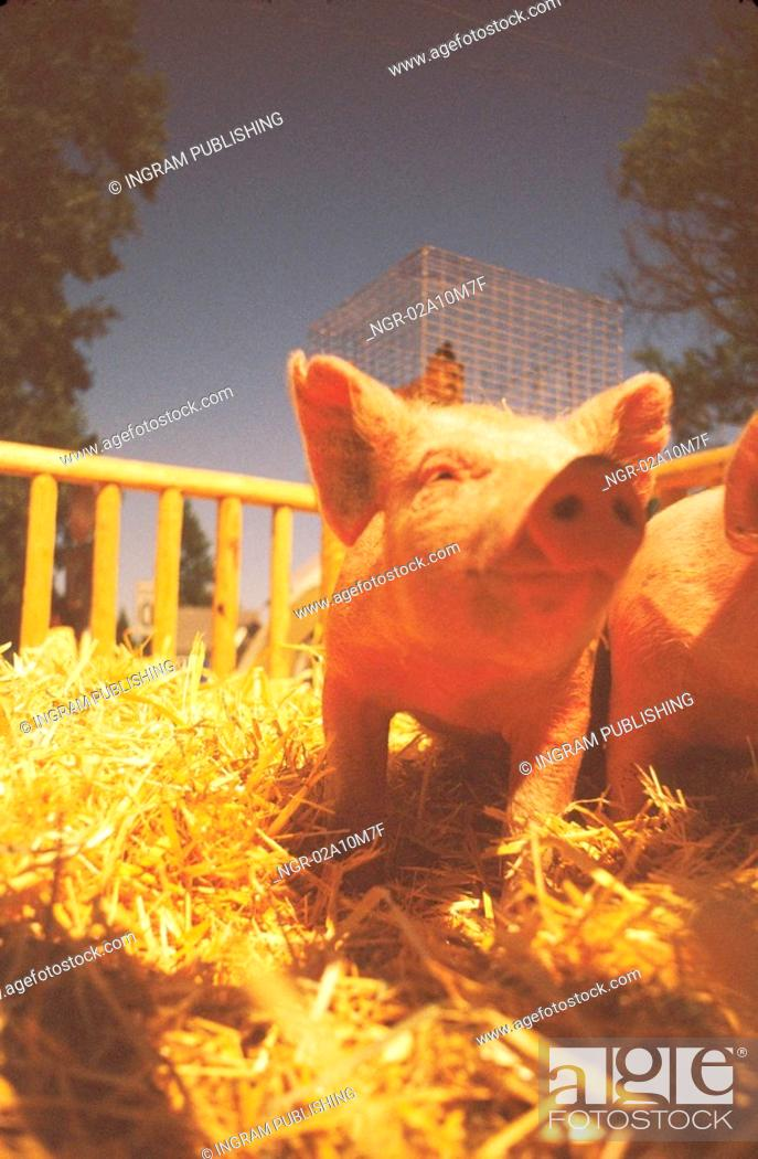 Stock Photo: Pig in Pen.