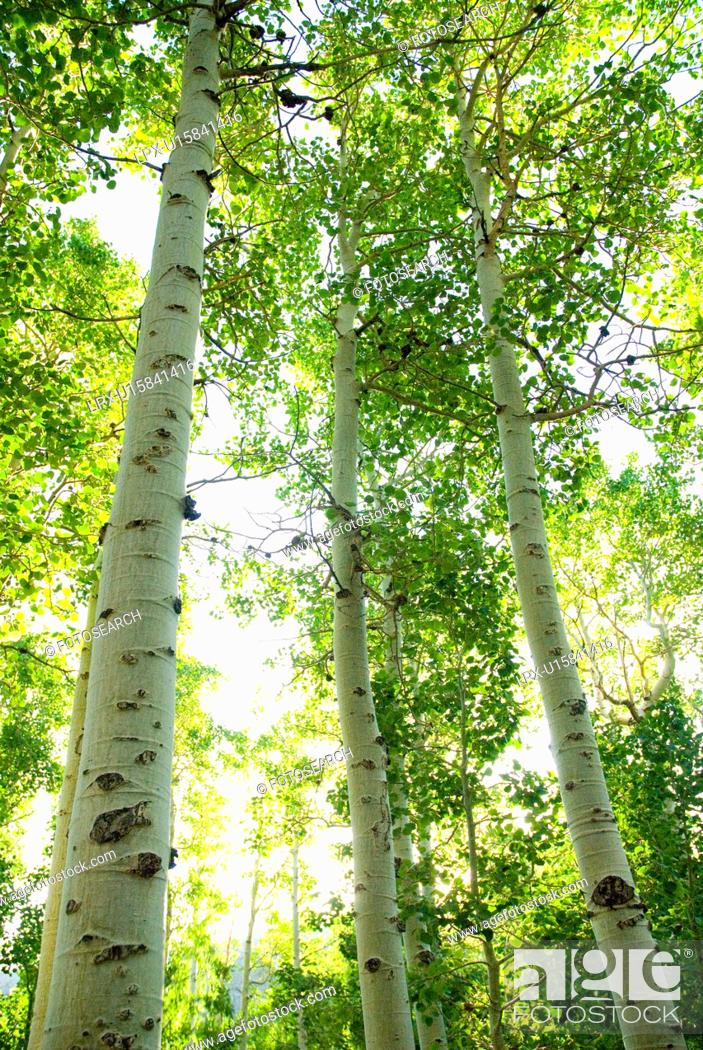 Stock Photo: Looking through a forest of Aspen trees.