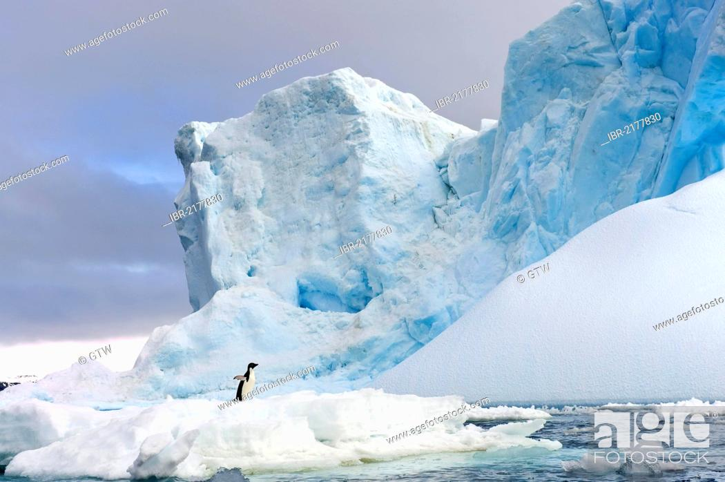 Imagen: Adelie penguin (Pygoscelis adeliae) standing on an iceberg, Antarctic Sound, Antarctic Peninsula, Antarctica.