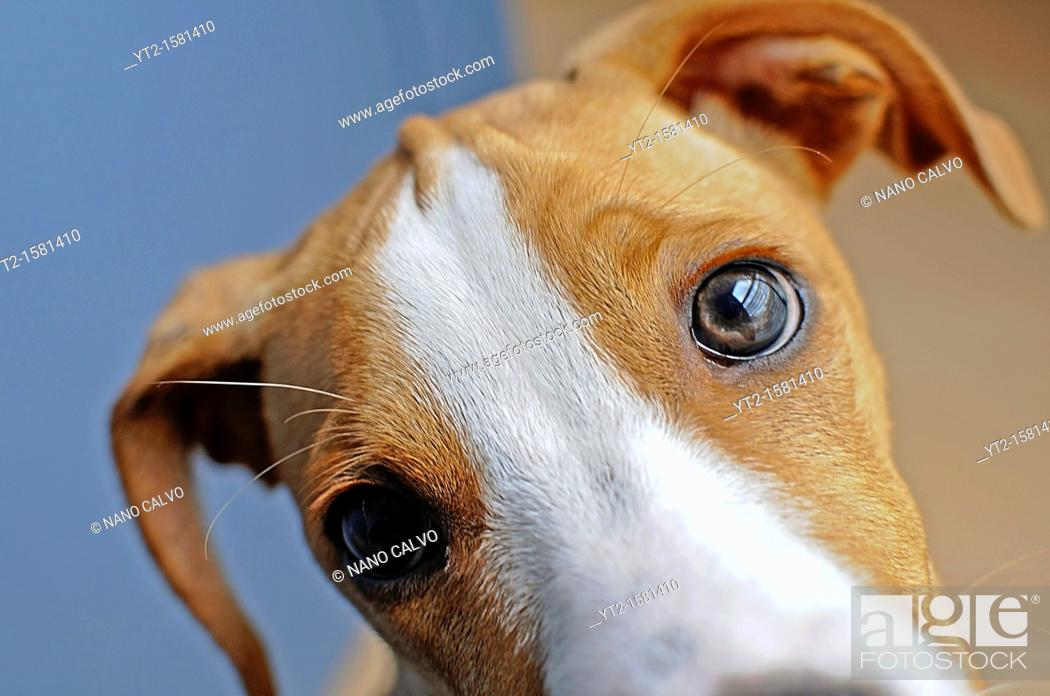 Stock Photo: Young brown dog at home.