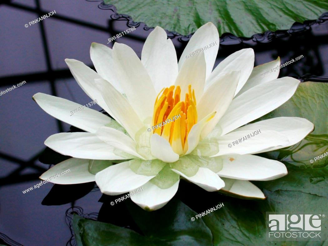 Stock Photo: Egyptian water lily, white egyptian lotus (Nymphaea lotus), blossom.