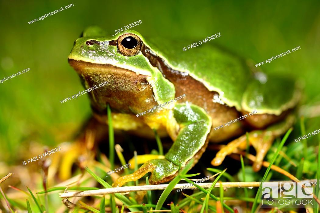 Imagen: Iberian tree frog or San Antonio tree frog (Hyla molleri) in Valdemanco, Madrid, Spain.