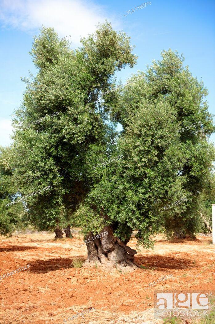 Stock Photo: Ancient Cerignola olive trees of Ostuni, Puglia, South Italy.