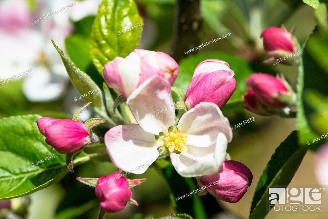 Imagen: Blossom of apple tree.