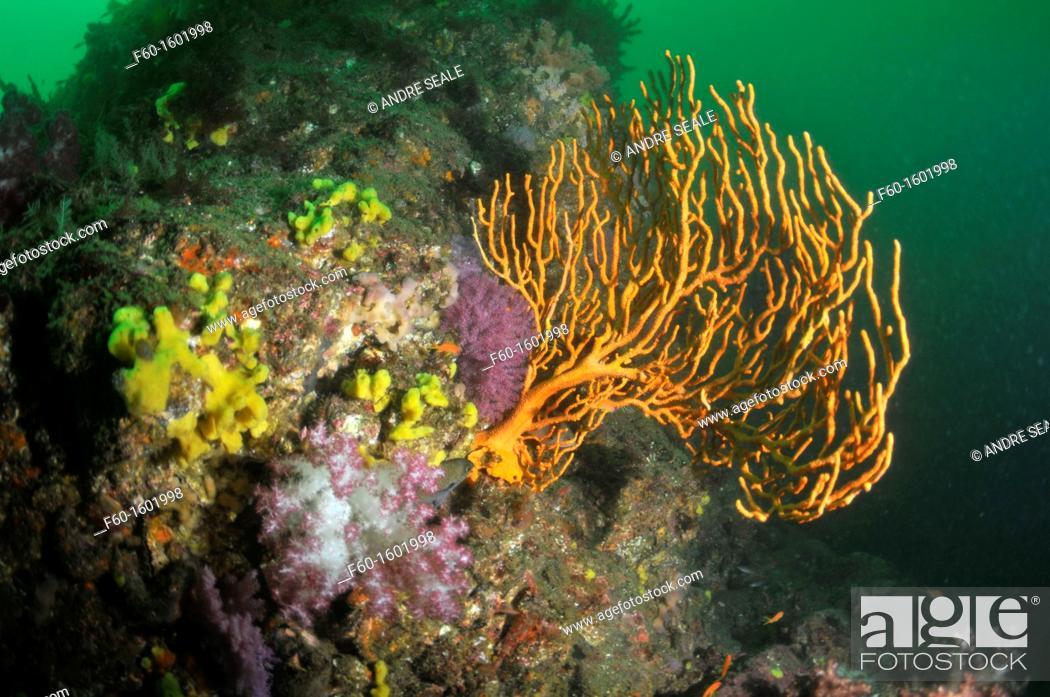 Stock Photo: Ascidians and fan coral, Bitagane, Atami, Izu peninsula, Japan.
