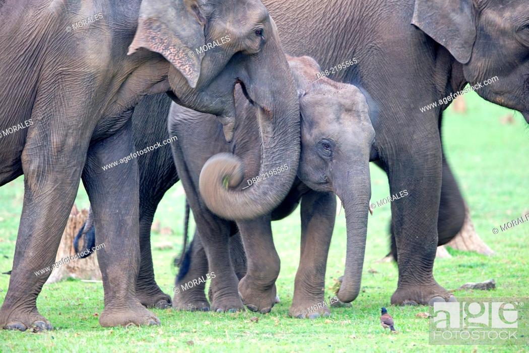Stock Photo: Asia, India, Karnataka, Nagarhole national park, Tiger reserve of Kabini, Asian or Asiatic elephant (Elephas maximus).