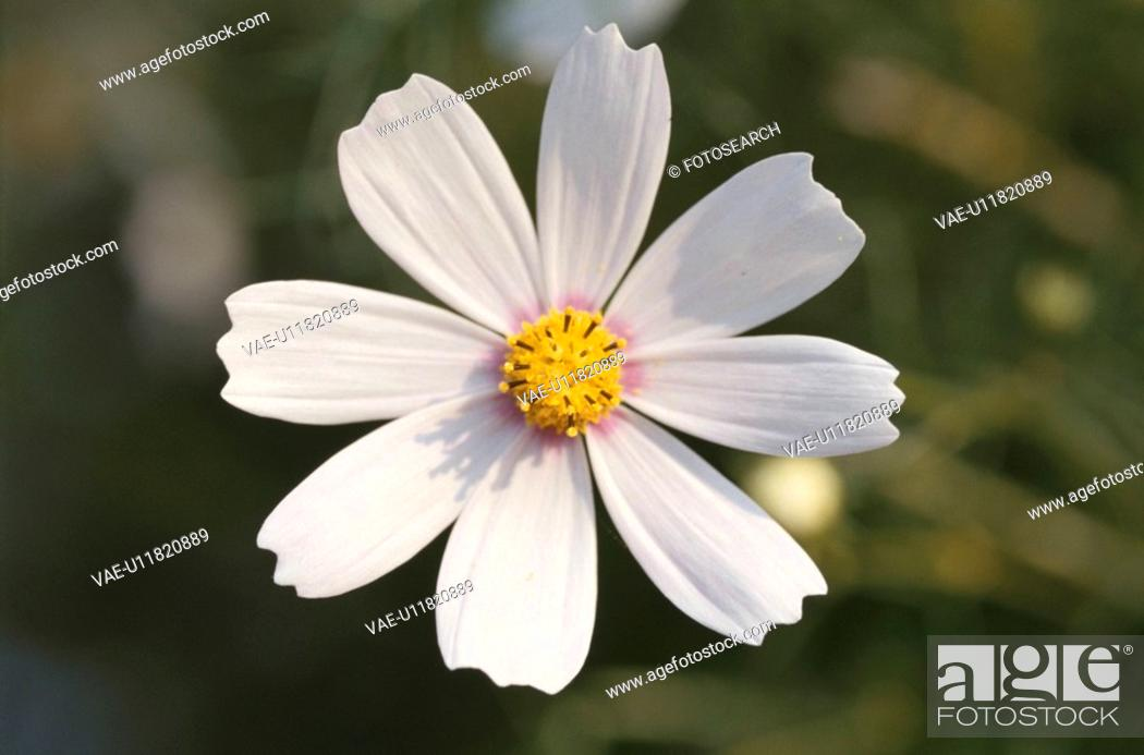 Stock Photo: White Cosmos.