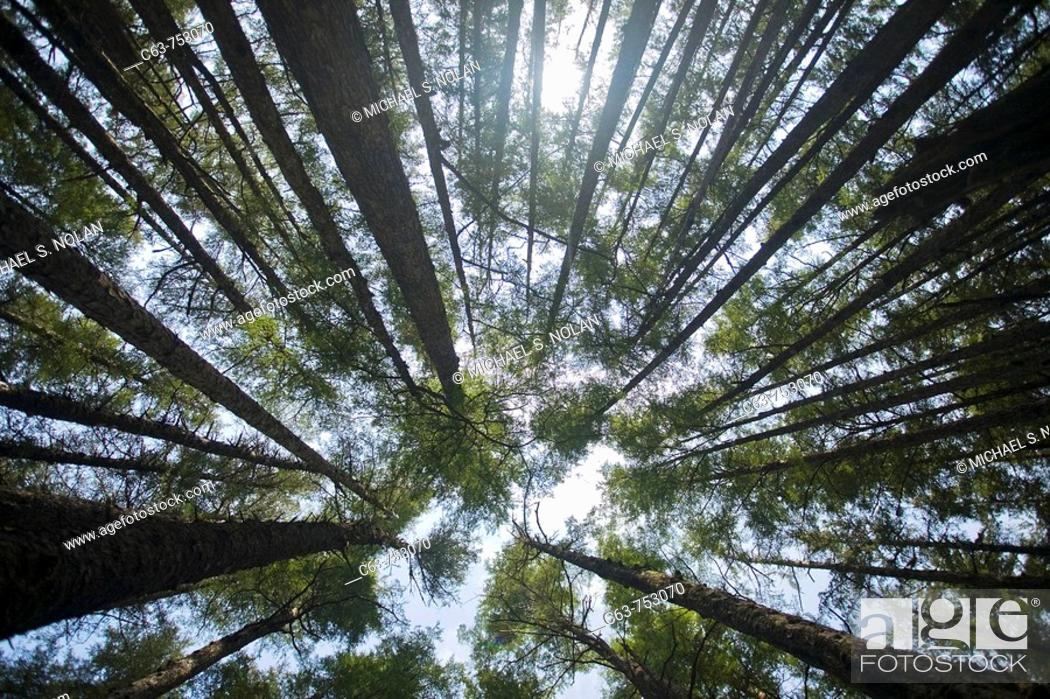 Stock Photo: Looking up into the canopy through hemlock and spruce trees on George Island near Cross Sound, Southeast Alaska in late springtime, USA.
