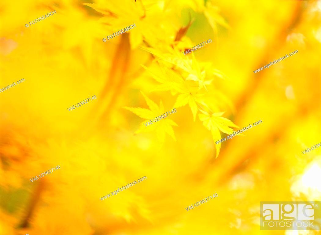 Stock Photo: tree, season, leaves, autumn, fall, autumnal tints, nature.